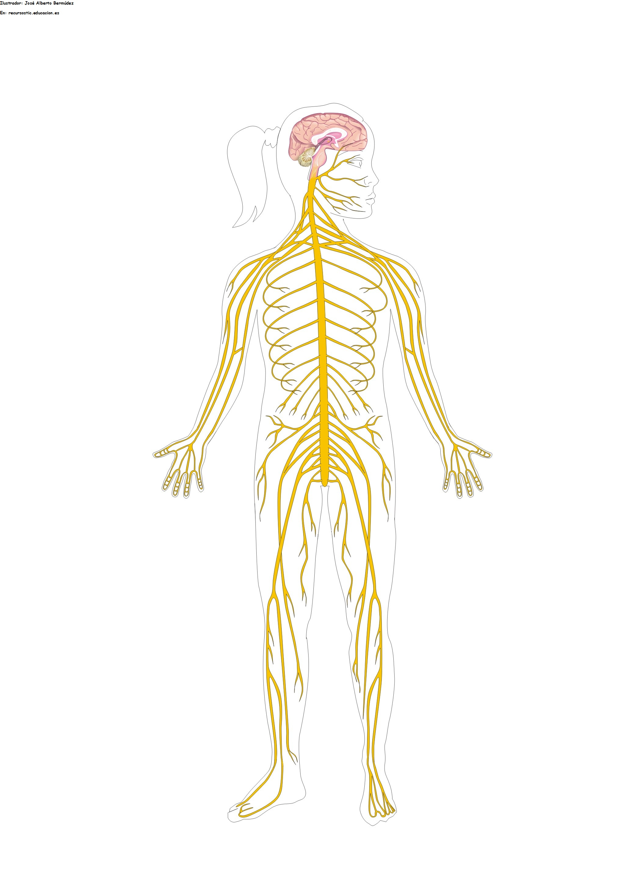 Sistema nervioso mudo