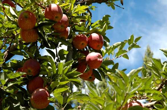 Manzano angiosperma