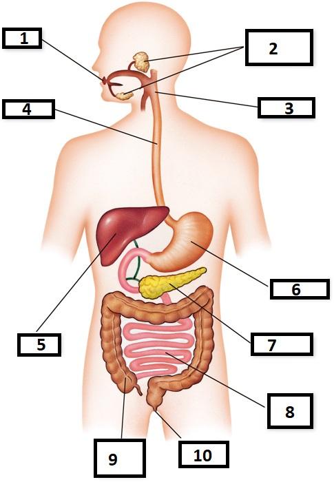 Aparell digestiu