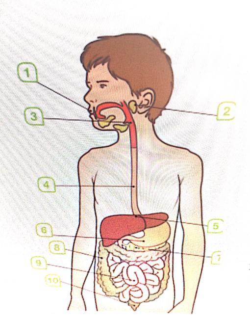 aparato digestivo numerado